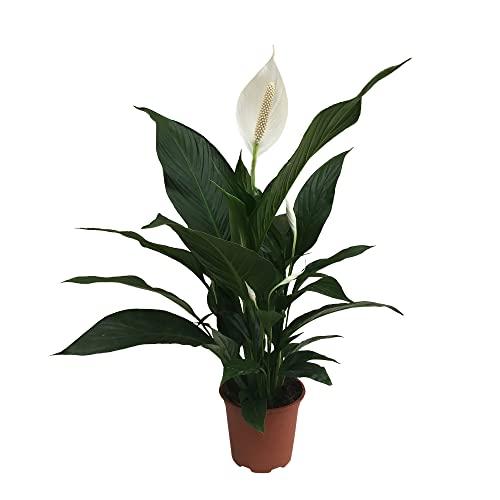Spathiphyllum wallisii 'Pearl Cupido' | Einblatt Pflanze | Weiße Blüte | Luftreinigende Zimmerpflanzen gross | Höhe 70-80cm | Topf-Ø 17cm