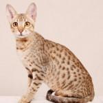 Allergiker Katzenrasse, Allerca Katze