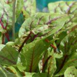 Ampfer Allergie Symptome