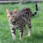 Allergiker Katzenrasse Bengal