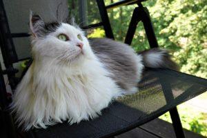 Sibirische Katze Allergiefreie Rasse