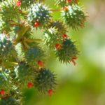 Rinzinus Allergie Wunderbaum