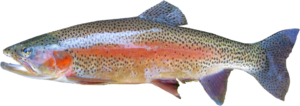 Fischallergie. Forelle