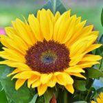 Sonnenblumen Allergie