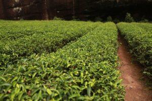 Teebaumöl Allergie